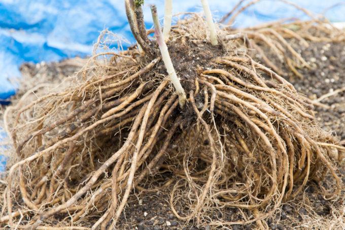アスパラガスの根(植え替え)