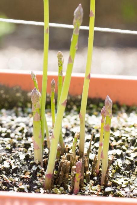 アスパラガスの新芽