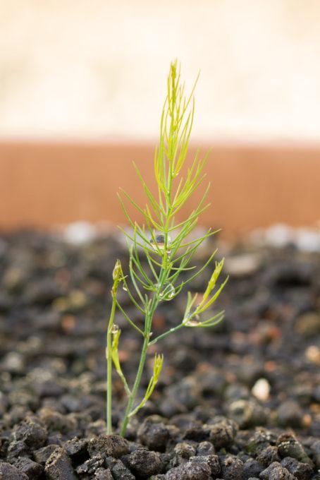 アスパラガス若茎