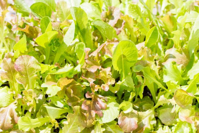 ベビーリーフ収穫適期