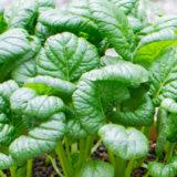 ちぢみ菜の栽培方法