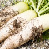 大根の栽培方法