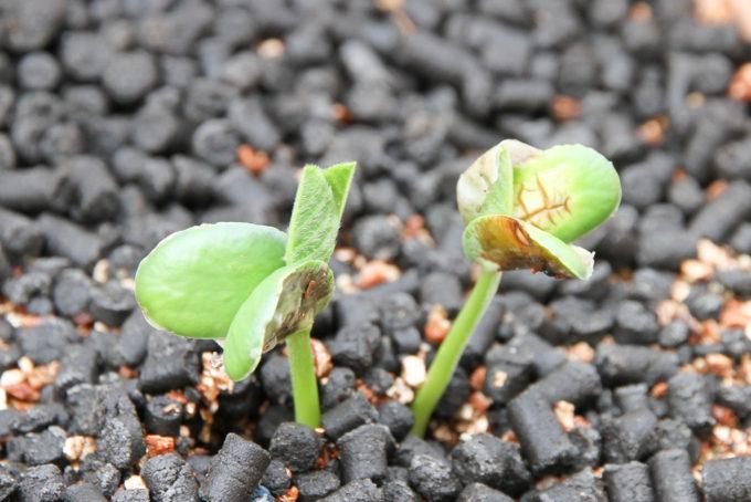 発芽した枝豆