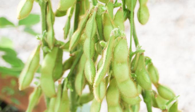 枝豆の栽培方法