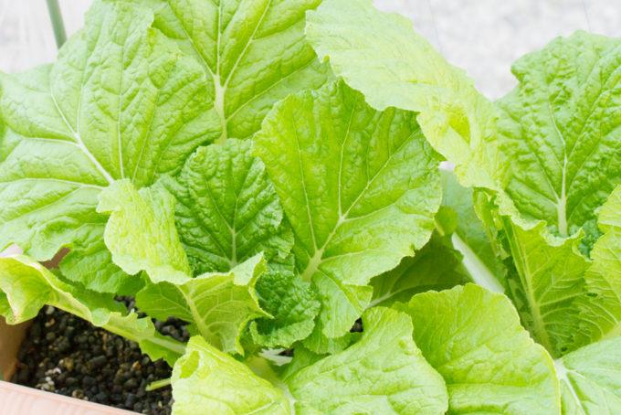 生育中の白菜