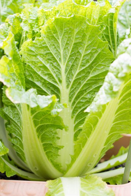 収穫適期の白菜