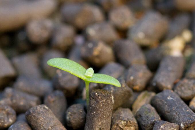 アイスプラント発芽