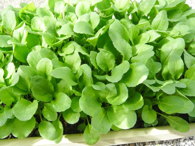 小松菜の密植栽培