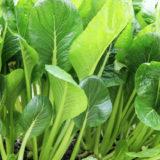 収穫適期の小松菜