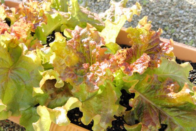 収穫適期のリーフレタス