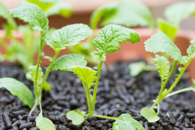 成長中の葉からし菜