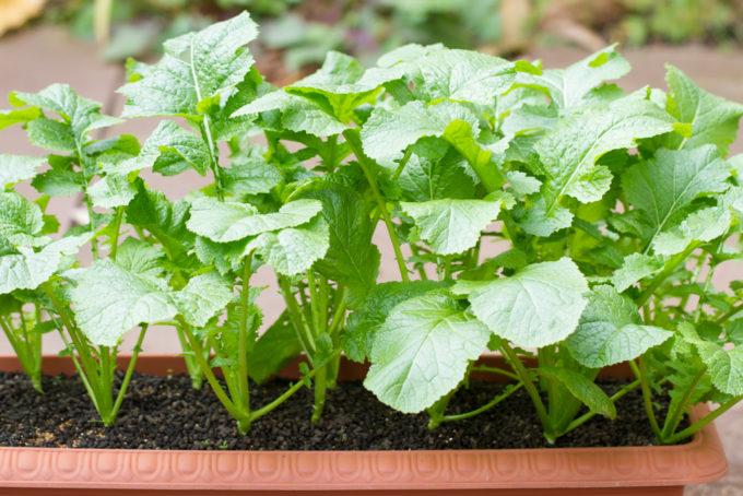 収穫まであと少しの葉からし菜