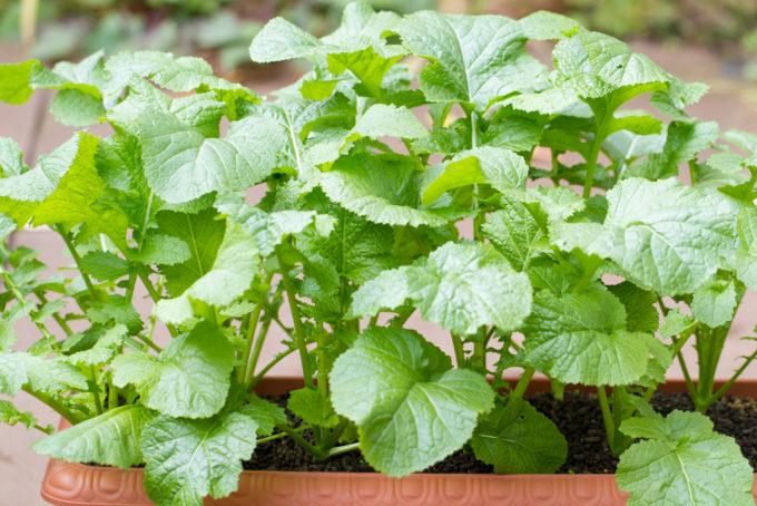 収穫適期の葉からし菜