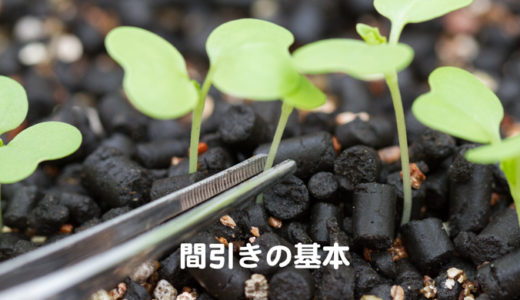 野菜の間引きのコツ:2つの方法と3つのポイント
