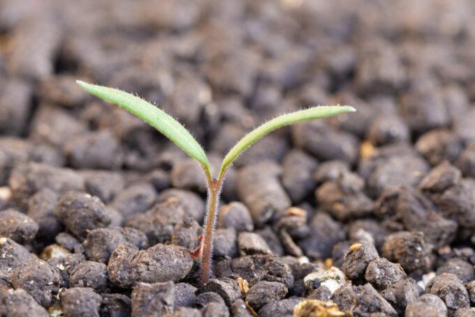 発芽直後のミニトマト