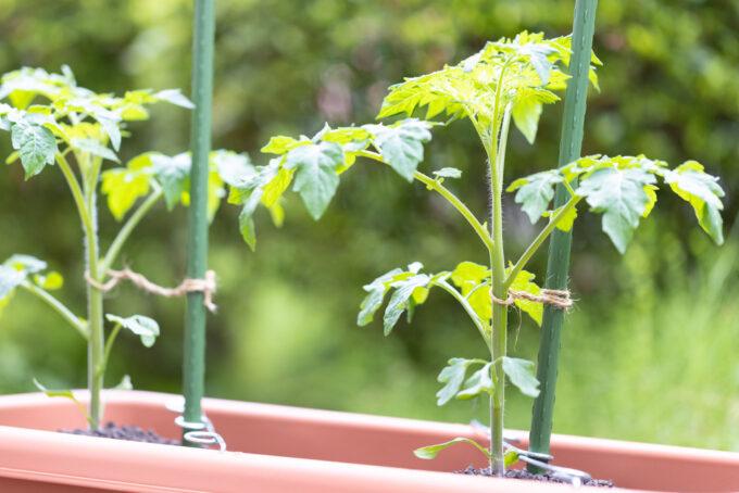 支柱に誘引したミニトマトの苗
