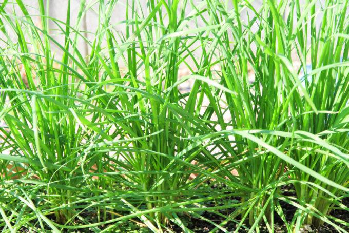1年目のニラ収穫適期