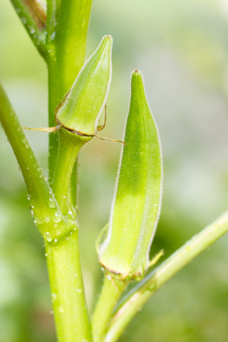 収穫適期のオクラ