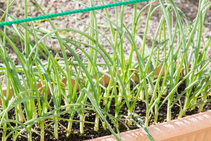 成長中の玉ねぎ苗
