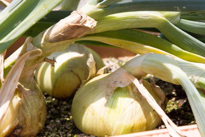 収穫適期の玉ねぎ