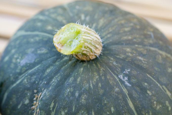 採れたてのかぼちゃ