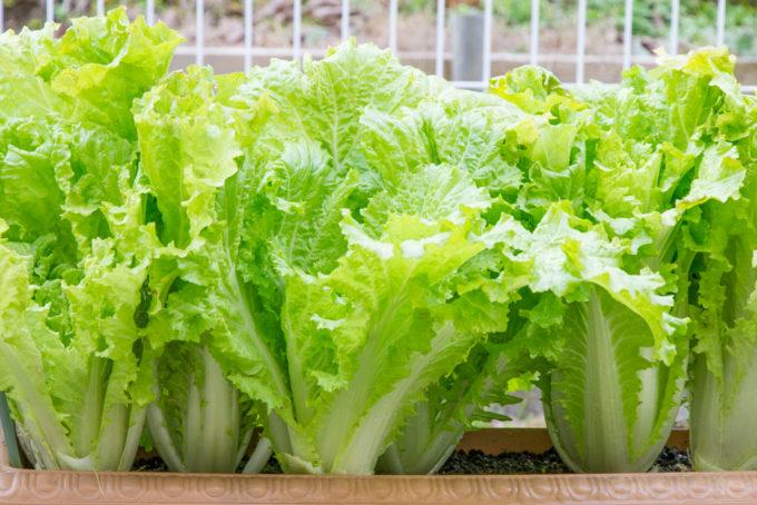 収穫適期の山東菜