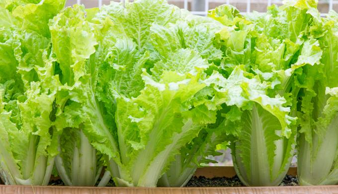 山東菜の栽培方法