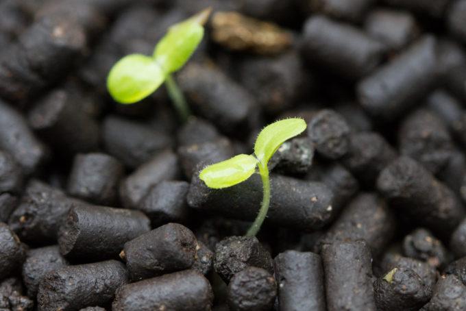 発芽直後のサラダ菜