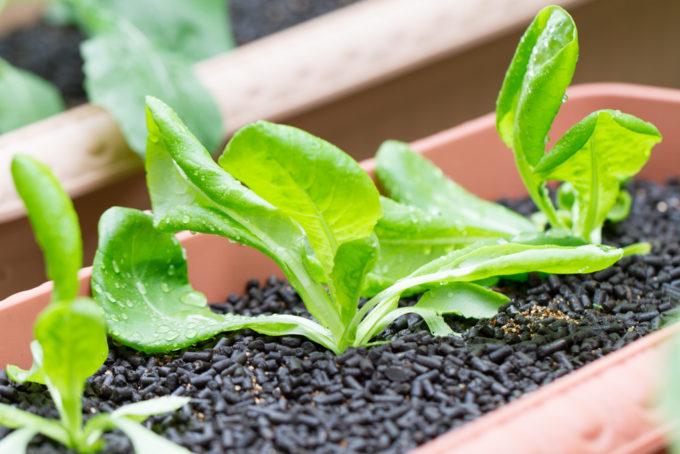 生育中のサラダ菜