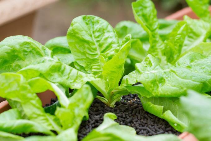 成長中のサラダ菜