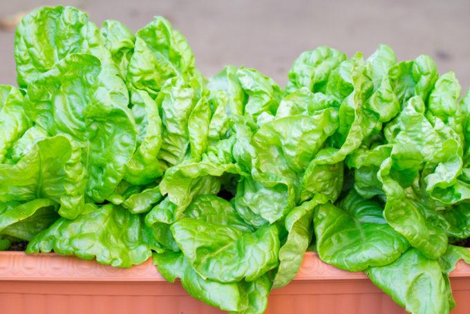 収穫適期の岡山サラダ菜