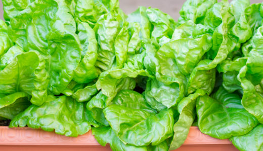 サラダ菜の育て方