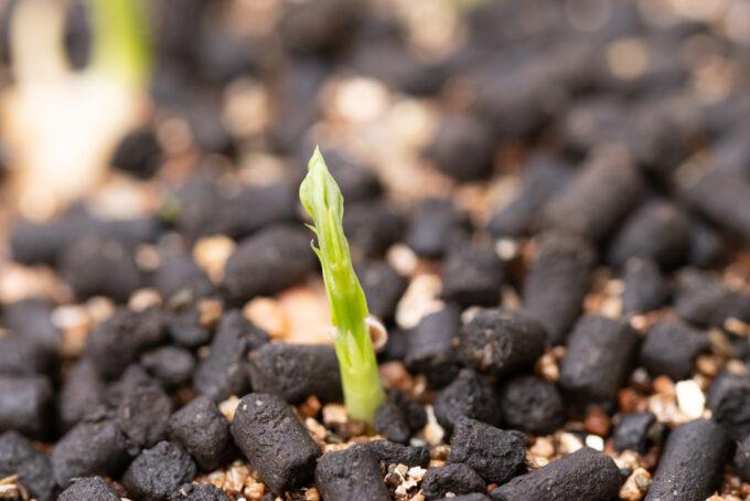 スナップエンドウの発芽(深植えの場合)