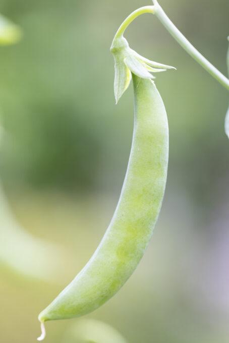 収穫適期のスナップエンドウ
