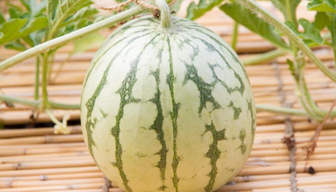 スイカの育て方・栽培方法