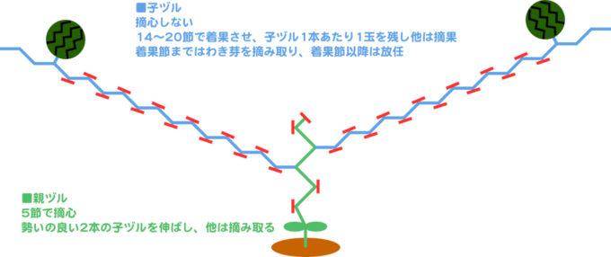 スイカの整枝方法