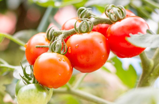 収穫適期のフルティカ