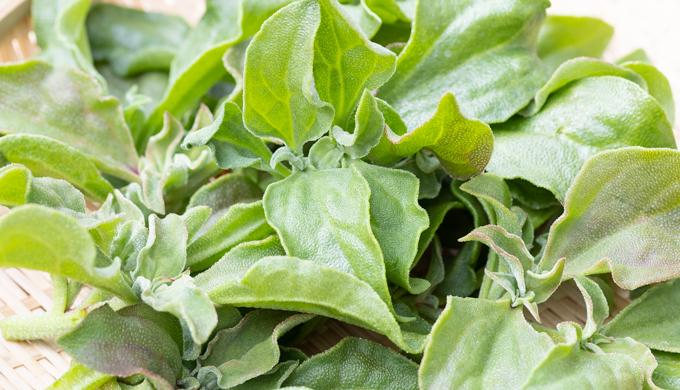 アイスプラントの育て方・栽培方法